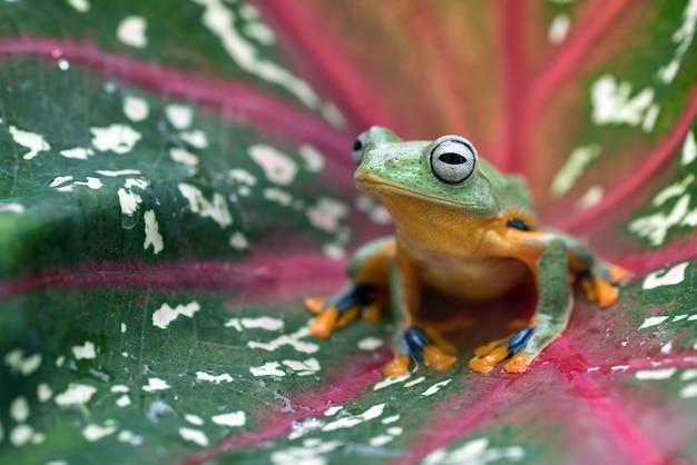 アンスリウムの葉の中の緑の木が飛んでいるカエル