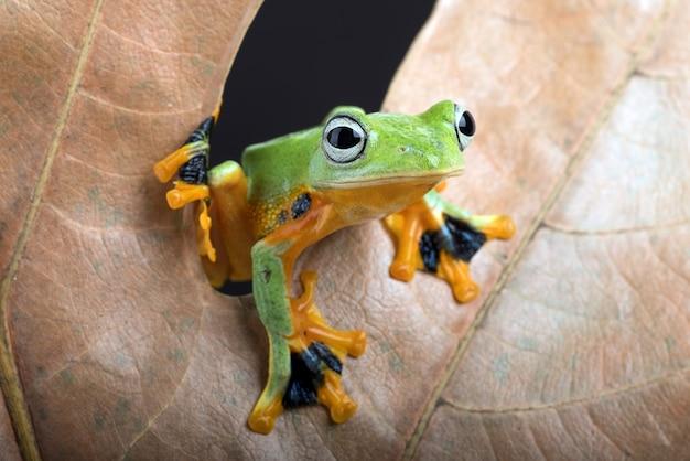 마른 잎에서 엿보기 녹색 나무 비행 개구리
