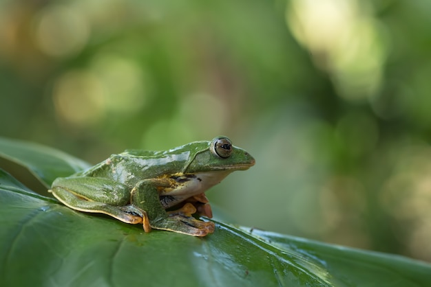 Green tree flying frog in their environment