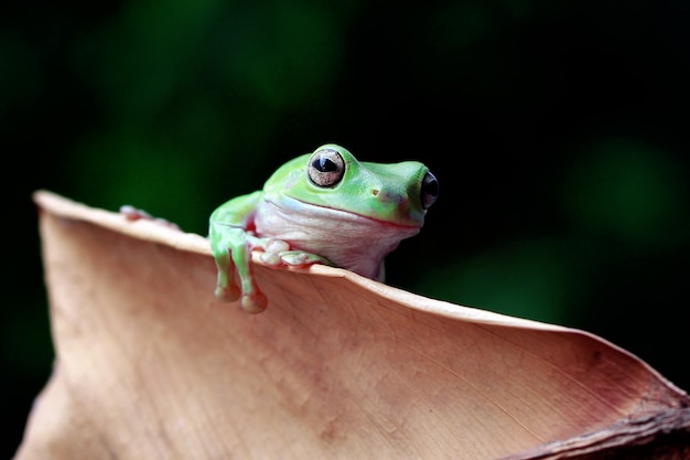 Green tree frog, dumpy frog, papua green tree frog on the death leaf