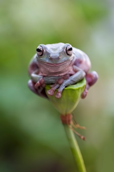 Green tree frog, dumpy frog, papua green tree frog