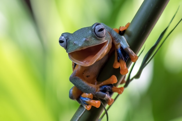 Green tree frog hanging on the bamboo tree