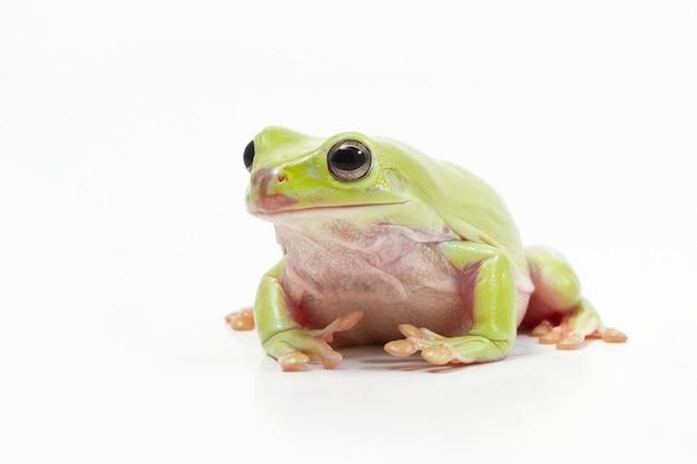 Зеленая лесная лягушка на белом фоне