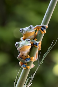 Green tree frogs on bamboo tree