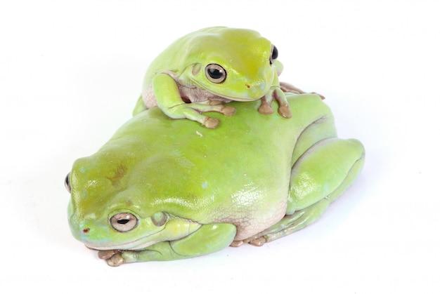 Зеленые древесные лягушки
