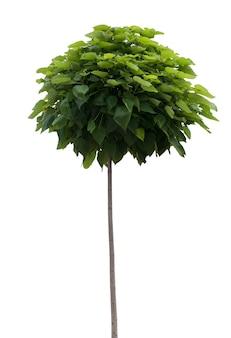 Зеленое дерево изолировано