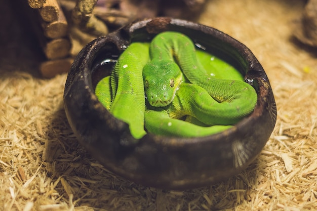 Зеленый древовидный питон morelia viridis. молодая зеленая змея свернулась.