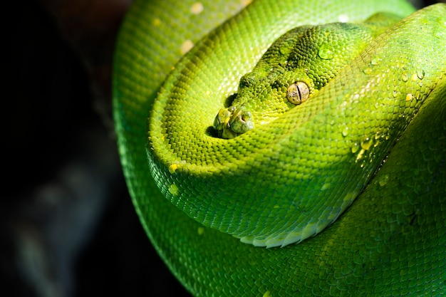 Green tree python in a zoo