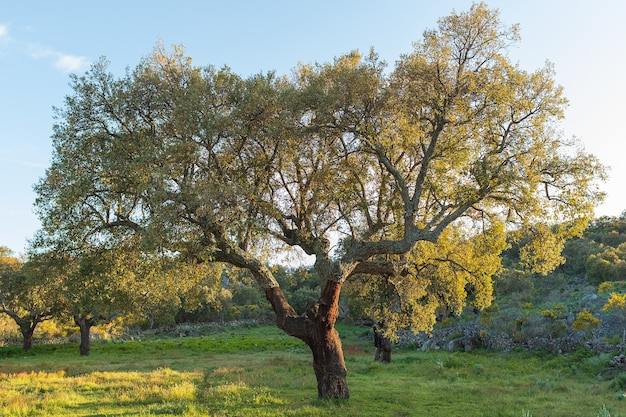 Green tree in spring in extremadura, spain