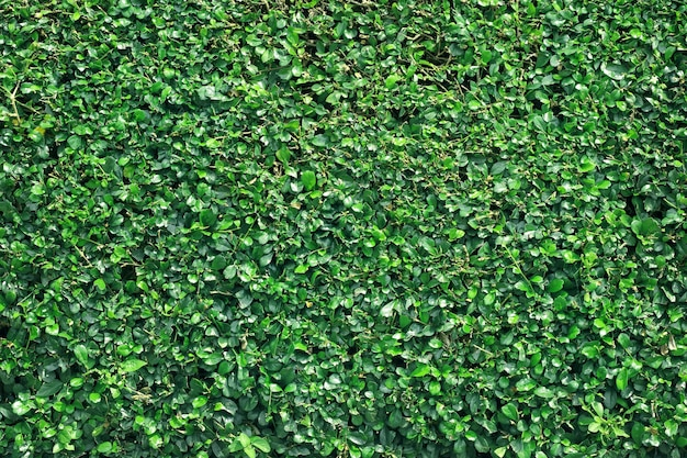 Green tree wall background, texture of natural fence.