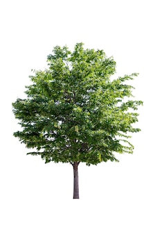 Green tree on white background in full depth of field with clipping path.