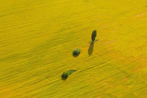 大きな開花黄色の菜の花畑の真ん中に緑の木々