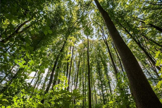 나뭇잎을 통해 빛나는 숲과 태양 광선에 녹색 나무 꼭대기