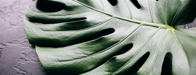 검은 배경에 녹색 열 대 잎입니다. 몬스테라 관엽식물. 친환경 사진입니다.