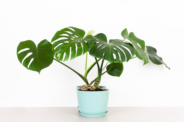 A green tropical monstera houseplant in a flower pot on a table against a white wall