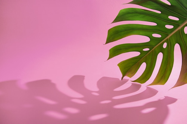 Green tropical monstera leaf and shadow