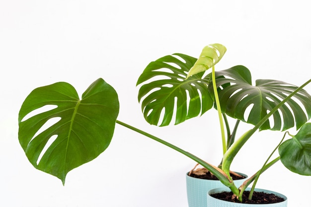 Green tropical monstera plant in a flower pot against a white wall
