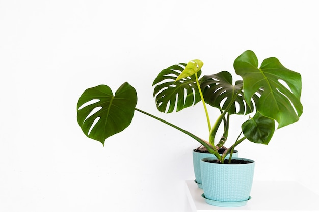 Green tropical monstera plant in a flower pot on a table against a white wall