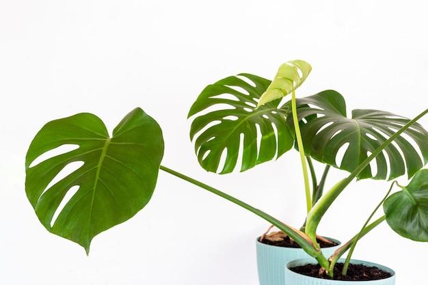 Зеленое тропическое растение монстера в цветочном горшке на фоне белой стены