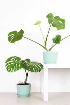Зеленые тропические растения монстера в цветочных горшках на фоне белой стены