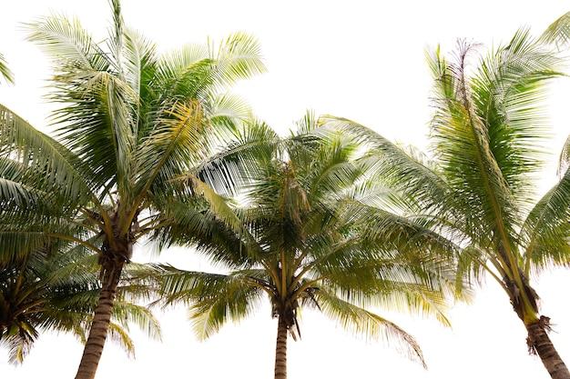 녹색 열 대 야자수 잎 열 대 신선한 코코넛 야자수 잎 프레임 흰색 배경에 고립 여름 휴가 배경 개념입니다.