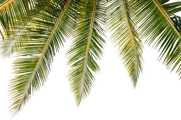 Green tropical palm leaf tropical fresh coconut palm leaves frame isolated on white background.