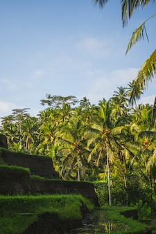 Green tropical palms being on the background, bright blue sky over rice terraces on bali