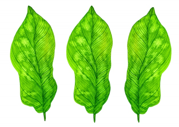 Green tropical watercolor leaves isolated