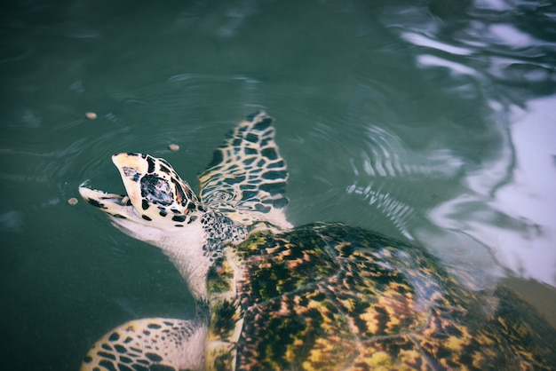 Green turtle farm and swimming on water pond - hawksbill sea turtle eating feeding food