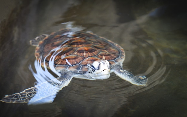 Green turtle farm and swimming on water pond