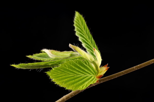 Green twig with leaves in spring black background isolate
