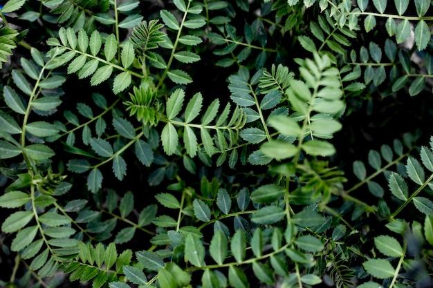 병아리콩 식물의 작은 잎이 있는 녹색 나뭇가지. 자연 식물 배경입니다.