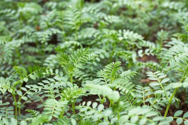 병아리콩 식물의 작은 잎이 있는 녹색 나뭇가지. 이른 녹지의 봄 새싹, 선택적 초점