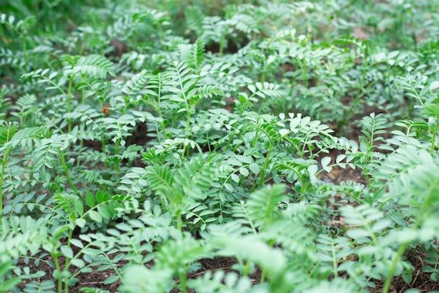 병아리콩 식물의 작은 잎이 있는 녹색 나뭇가지. 이른 녹지의 봄 싹.