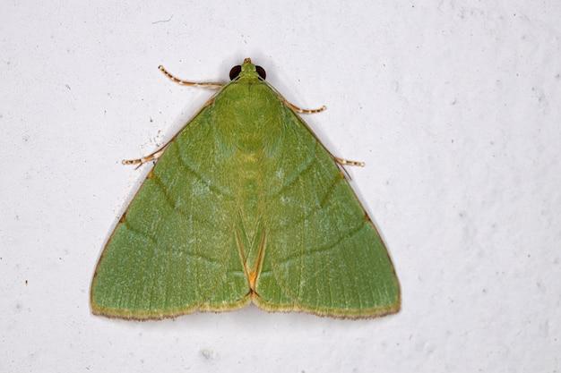 Green underwing moth of the genus eulepidotis