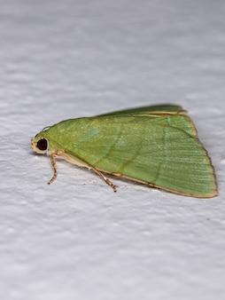 Зеленая подкрыловая моль из рода eulepidotis