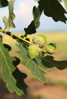 Зеленые незрелые желуди на дубовой ветке в летний день