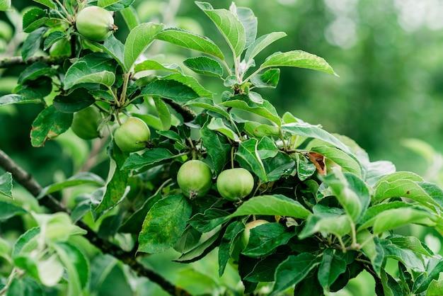 Зеленые незрелые яблоки на ветке в саду. мягкий выборочный фокус.