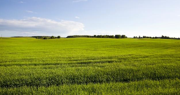 녹색 설 익은 곡물