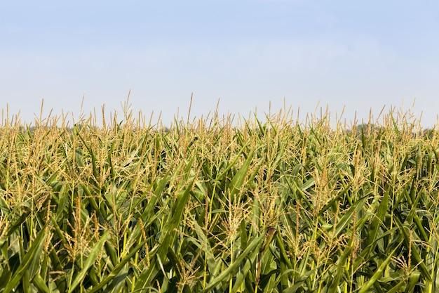 緑の未熟穀物