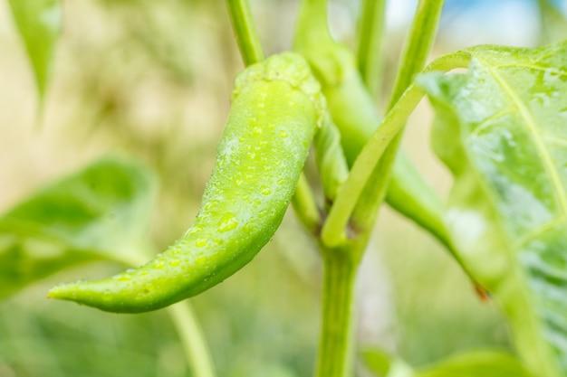 Зеленые незрелые перцы чили на грядке. домашние экологически чистые продукты, стручковый перец или паприка, созревающие в саду.