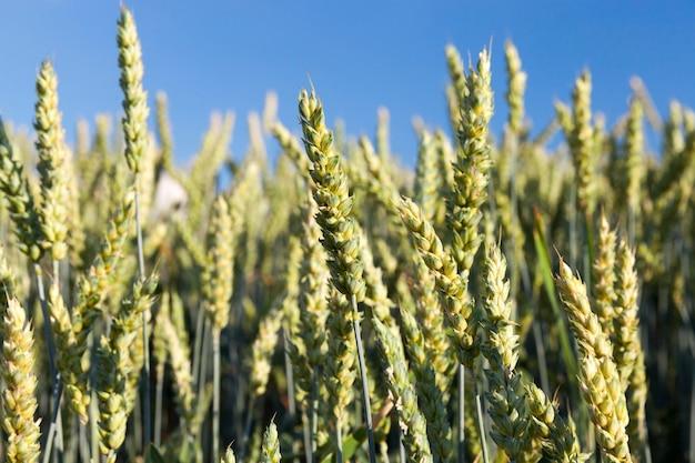 農地の夏の緑の未熟小麦の穂。被写界深度の浅いクローズアップ。