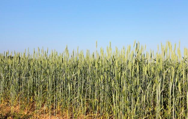 농업 분야에서 여름에 밀의 녹색 설 익은 귀. 필드의 작은 깊이와 근접 촬영을 찍은 사진. 백그라운드에서 푸른 하늘