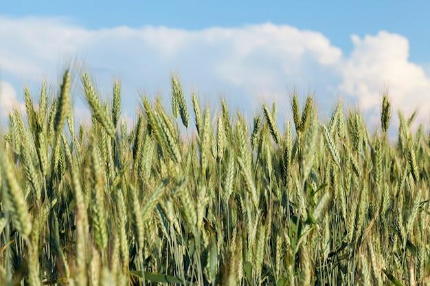 Зеленые незрелые колосья пшеницы летом в сельскохозяйственном поле. фото сделано крупным планом с небольшой глубиной резкости. голубое небо на заднем плане