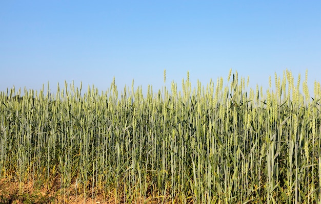 Green unripe ears of wheat in the summer in the agricultural field. photo taken closeup with a small depth of field. blue sky in the background