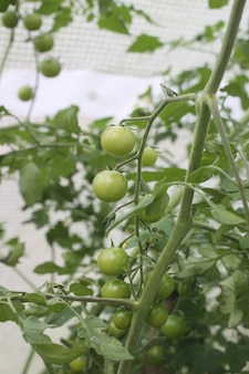 Green unripe tomatoes growing in the greenhouse.