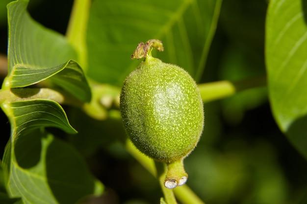 木に生えている緑の未熟なクルミ