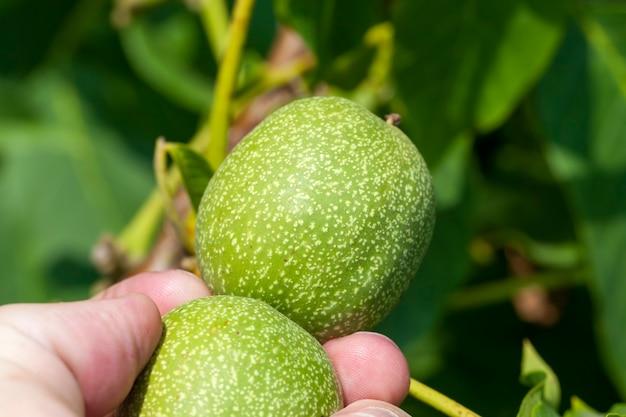 Зеленые незрелые грецкие орехи летом, дерево с зелеными грецкими орехами в ореховодстве