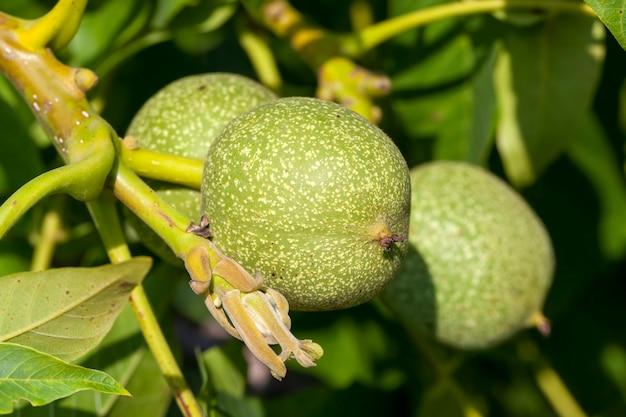 Зеленые недозрелые грецкие орехи летом