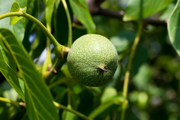 Green unripe walnuts in the summer